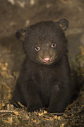 Black Bear Cubs Prints - Black Bear 7 Week Old Cub In Den Print by Suzi Eszterhas