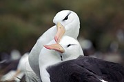 Breeding Posters - Black-browed Albatrosses Courting Poster by Charlotte Main
