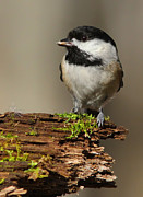 Feed Hungry Prints - Black-capped Chickadee Print by Mircea Costina Photography