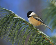 Tony Beck Posters - Black-Capped Chickadee Poster by Tony Beck