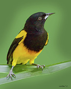 Tropical Oriole Posters - Black-cowled Oriole Poster by Larry Linton
