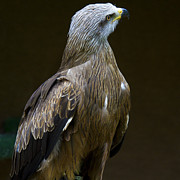 Black Kite 1 Print by Heiko Koehrer-Wagner