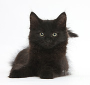 Fluffy Cat Prints - Black Kitten Print by Mark Taylor