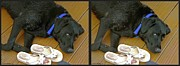 Stereoscopy Photos - Black Lab - Gently cross your eyes and focus on the middle image by Brian Wallace