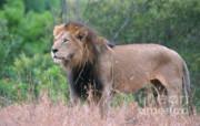 Sandra Bronstein - Black Maned Lion