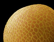 Pitted Photo Prints - Black Mustard Seed, Sem Print by Steve Gschmeissner