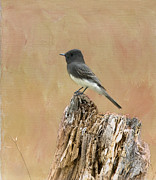 Flycatcher Posters - Black Phoebe Poster by Betty LaRue