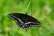 Black Swallowtail Prints - Black Swallowtail Print by Alan Lenk