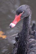 Portriat Photos - Black swan by David Campione