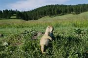 Custer State Park Prints - Black-tailed Prairie Dog Cynomys Print by Raymond Gehman