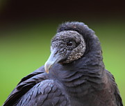 Black Bird Prints - Black Vulture Portrait Print by Bruce J Robinson