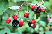 Invasive Species Photo Prints - Blackberries Print by Kristin Elmquist