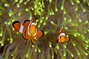 Featured Posters - Blackfinned Clownfish Pair Among Poster by Reinhard Dirscherl