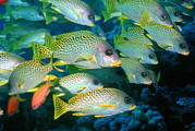 Schooling Art - Blackspotted Sweetlips by Georgette Douwma