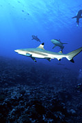 Sharks Photo Posters - Blacktip Shark, Moorea, French Poster by Beverly Factor