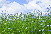 Flower Blooming Photos - Blooming flax field by Elena Elisseeva