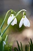 Soil Photo Posters - Blooming snowdrops Poster by Elena Elisseeva