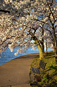 Cherry Blossoms Photos - Blossoming Cherry Trees by Brian Jannsen