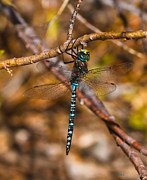 Blue Darner Dragonfly Posters - Blue Darner Poster by Mitch Shindelbower