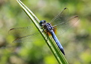 Green And Blue Prints - Blue Darner on Green Reed Print by Carol Groenen