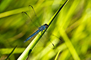 Animalia Framed Prints - Blue Dragonfly 1 Framed Print by Douglas Barnett