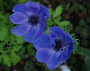 Blue Flowers Photos - Blue Flowers  by Carol  Eliassen