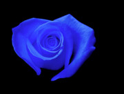 Royal Blue Posters - Blue Heart-Shaped Rose Poster by Glennis Siverson
