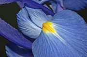 Goddess Of Love Prints - Blue Iris Print by Carolyn Marshall