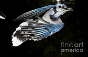 Bluejay Metal Prints - Blue Jay In Flight Metal Print by Ted Kinsman