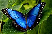 All Blue Framed Prints - Blue Morpho Framed Print by Neil Doren