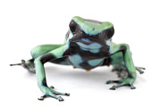 Featured Art - Blue Poison Dart Frog Barbilla Np Costa by Piotr Naskrecki