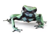 Blue Poison Dart Frog Barbilla Np Costa Print by Piotr Naskrecki