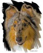 Collie Digital Art Metal Prints - Blue Sable Standard Collie Metal Print by Larry Linton