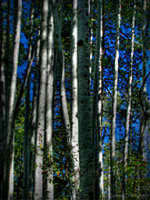 Prescott Framed Prints - Blue Skies Through the Aspens Framed Print by Aaron Burrows