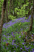 Plants Wildflowers Prints - Bluebells (hyacinthoides Non-scripta) Print by Dr Keith Wheeler