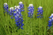 Bluebonnet Wildflowers Posters - Bluebonnets Poster by Mae Photography