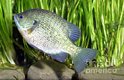 Panfish Framed Prints - Bluegill Lepomis Macrochirus Framed Print by Ted Kinsman
