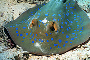 Ray Fish Framed Prints - Bluespotted Ribbon Ray Framed Print by Georgette Douwma