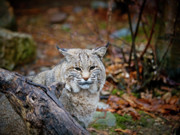 Bobcat Photo Framed Prints - Bobcat Framed Print by Jim DeLillo