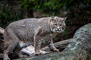 Bobcat Framed Prints - Bobcat Framed Print by John Dryzga