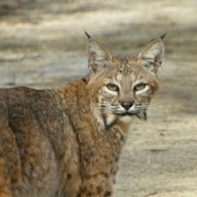 Bobcat Photo Framed Prints - Bobcat Framed Print by Kris Docken