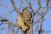 Bobcat Photos - Bobcat on a tree by Cristina Lichti