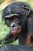 Bonobo Pan Paniscus Portrait Print by Cyril Ruoso