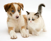 Cute Kitten Photo Posters - Border Collie And Birman-cross Kitten Poster by Jane Burton