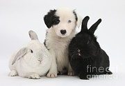 Collie Posters - Border Collie Pups With Black Rabbit Poster by Mark Taylor