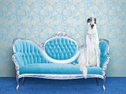 Chaise Prints - Borzoi (canis Lupus Familiaris) On Couch Print by Catherine Ledner