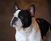 Little Dog Photos - Boston Terrier by Jai Johnson