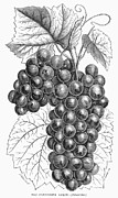 Grape Vine Prints - Botany: Grapes Print by Granger