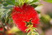 Bottle Brush Plants Acrylic Prints - Bottlebrush Acrylic Print by Dawn Richards