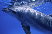 Cayman Islands Prints - Bottlenose Dolphin, Cayman Brac, Cayman Print by Beverly Factor